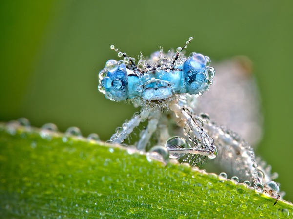 Dragonfly perches on a dew-soaked leaf